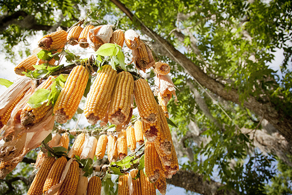 Corn Chandelier (Katherine Sandoz for Salted and Styled)