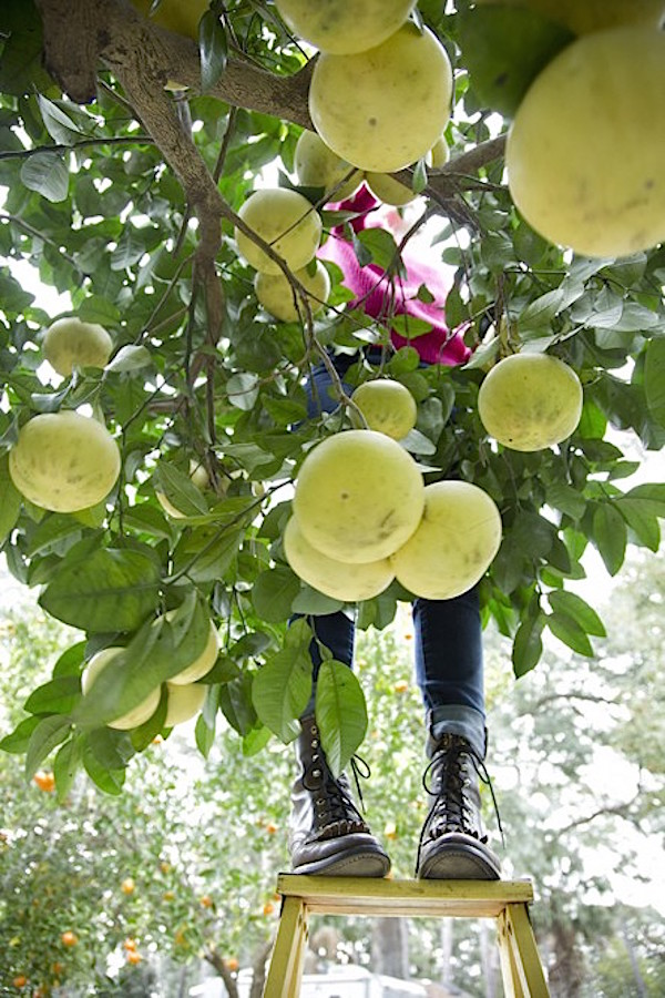 Citrus Season, Grapefruit Season, Citrus Growing, Libbie Summers, A food-inspired life, Citrus Picking